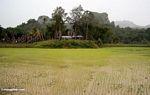 Muddy rice paddies near Ketu Kese (Toraja Land (Torajaland), Sulawesi)