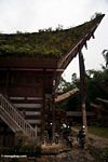 Ferns growing on roof of house in Ketu Kese (Toraja Land (Torajaland), Sulawesi)