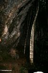 Bamboo growing under cliff face (Toraja Land (Torajaland), Sulawesi)