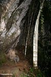 Bamboo growing under cliff face--trail at Ketu Kese (Toraja Land (Torajaland), Sulawesi)