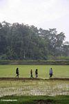 Family crossing rice paddy (Toraja Land (Torajaland), Sulawesi)