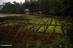 Teak farm in Sulawesi for reforestation (Toraja Land (Torajaland), Sulawesi)