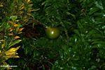 Pomelo (Jerunga) fruit (Toraja Land (Torajaland), Sulawesi) -- sulawesi7457