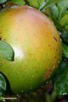 Pomelo (Jerunga) fruit (Toraja Land (Torajaland), Sulawesi) -- sulawesi7459