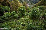 Young teak trees (Sulawesi - Celebes)