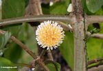 Orange and yellow ball flower (Sulawesi - Celebes)