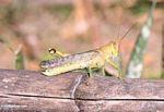 Grasshopper (Sulawesi - Celebes) -- sulawesi7751