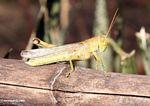 Grasshopper (Sulawesi - Celebes)