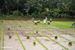 People planting rice (Sulawesi - Celebes)