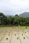 People planting rice in southern Sulawesi (Sulawesi - Celebes)