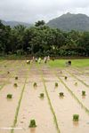 People planting rice in south Sulawesi (Sulawesi - Celebes)