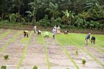 Rice workers in the mud (Sulawesi - Celebes)