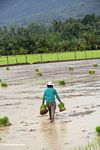 Woman carrying bunches of rice plants for planting (Sulawesi - Celebes)