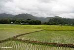 Emerald rice fields (Sulawesi - Celebes)