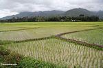 Emerald green rice paddies of south Sulawesi (Sulawesi - Celebes) -- sulawesi7789