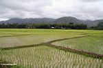 Lowland rice fields of Sulawesi (Sulawesi - Celebes)