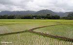 Lowland rice paddies of Sulawesi (Sulawesi - Celebes)