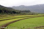 Emerald green terraced rice fields of south Sulawesi (Sulawesi - Celebes)