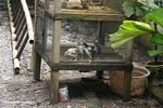 Cages chicks (Sulawesi - Celebes)