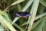 Black butterfly with blue-purple markings on its wings (Sulawesi - Celebes) -- sulawesi7827
