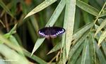Black butterfly with blue-purple markings on its wings (Sulawesi - Celebes) -- sulawesi7828