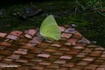 Butterfly on woven mat (Sulawesi - Celebes)