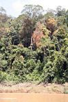Vine-covered rain forest trees along the Tembeling River