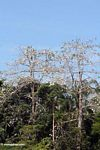 Cotton tree in Malaysia