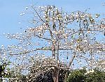 Tree with cotton-like seed structures
