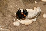 Pair of beetles mating on a fungal growth