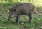Young wild boar in Malaysia