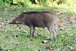 Young boar (Sus scrofa)