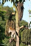 Long-tailed macaque feeding on palm fruit