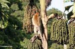 Long-tailed macaque (Macaca fascicularis) feeding on fruit of Caryota milis, or the 'Tukas' palm
