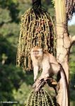 Long-tailed macaque feeding on fruit of the 'Tukas' palm (Caryota milis)