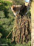 Long-tailed macaque (Macaca fascicularis) eating fruit of the 'Tukas' palm (Caryota milis)