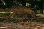 Sus scrofa, wild boar