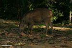 Young Sus scrofa, wild boar