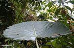 Large umbrella leaf