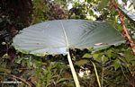 Large umbrella leaf plant in the Malaysian jungle
