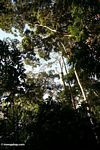 Rain forest canopy as seen from below