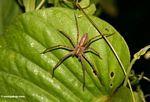 Large Malaysian jungle spider