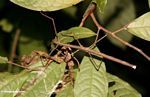 Brown walking stick insect