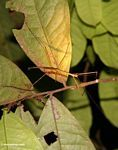 Light green stick insect