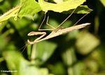 Beige praying mantis