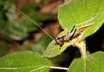 A katydid in Malaysia with a red head, black body, yellow winds, and black and yellow legs -- malaysia0362a