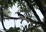 Oriental pied hornbill (Anthracoceros albirostris) -- malaysia0375