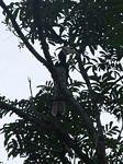 Malaysian Pied Hornbill
