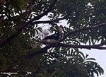 Malaysian Pied Hornbill (Anthracoceros albirostris) -- malaysia0380