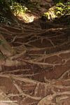 Rain forest tree roots anchoring soil and preventing erosion in Malaysian jungle